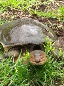 Turtles roam the Everglades, too.
