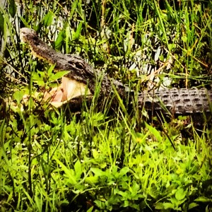 The alligator blends in well to its habitat -- ready to snap at any moment.