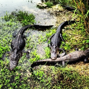 A common sight in the Everglades: a congregation of not-so-friendly alligators.