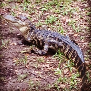 Caiman are relatively small crocodilians and are not as common as their relative, the alligator, in southern Florida.